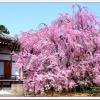 京都の桜2016地元民が教えるおすすめの穴場スポットやアクセスは?