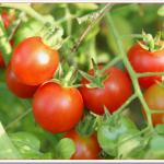 ミニトマト支柱の立て方と長さは?初心者プランター栽培のコツ!