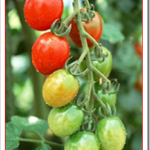 家庭菜園ミニトマトをプランターで簡単に栽培する方法